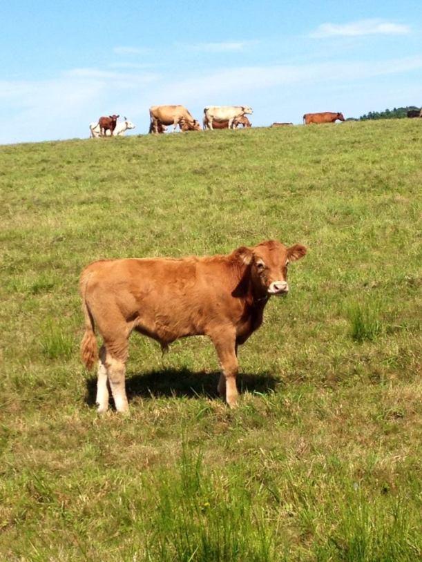 The cutest calf! Go Veggie.